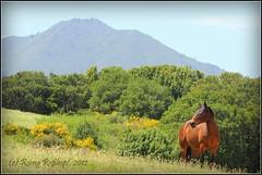 "Springtime on ""Horse Hill"" (R. Rokopf) Tags: horse mountain mttam marincounty horsehill marinmagazine"