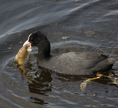 Coot eating fish (cj1970.) Tags: bird nature water birds countryside nationalpark minolta derbyshire peakdistrict sony alpha coot sonycamera waterbirds peakdistrictnationalpark whaleybridge a500 adobelightroom birdsfishing minoltalens fishingbirds sonyalpha sonydslr minolta75300 cootwithfish sonya500 alpha500 a500dslr cootfishing
