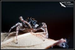 Araña Saltadora (Juan M Casillas) Tags: madrid macro insect spider iso200 wildlife araña jumpingspider leganés insecto f320 arañasaltadora speed1160 cameranikond300 focal1050mm35mm~1570mm lens1050mmf28 filenamedsc0442jpg