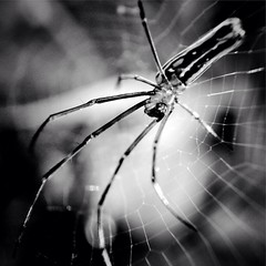 Golden Orb (Aaron Davis 2014) Tags: macro insect golden spider orb squareformat tropical iphoneography snapseed