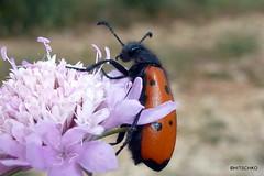 Chrysomeloidea, ohne nähere Bestimmung (HITSCHKO) Tags: france frankreich aude käfer minervois canaldumidi languedocroussillon hérault payscathare minervoise katherer