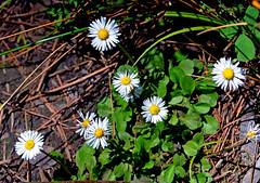 Coulter's Daisy in Mariposa Grove (John Dreyer) Tags: flowers john national credit yosemite wildflowers 2012 mariposagrove dreyer parknational traveladventure coultersdaisy dreyercopyright parkstraveleco travelhikingnikonnikon d5100photo