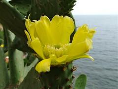 ciuri ri ficurinnia (costagar51) Tags: italy italia natura sicily fiori palermo piante sicilia capozafferano regionalgeographicsicilia rgsnatura