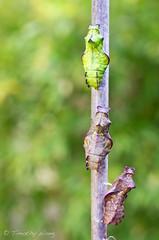 Puipevine Swallowtail-7702 (Timtastic!) Tags: butterfly aristolochia pupa pipevineswallowtail diapause battus hirsuta philenor chyrsalis