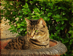 tabby transplant (anniedaisybaby) Tags: friends pet baby green texture urn cat garden eyes feline thankyou tabby beloved flypaper impressedbeauty impressedbyyourbeauty yourpreferredgroup joessistah texturingtheworld