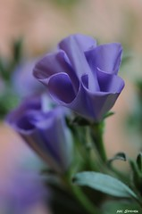 Blaue Mauritius (Simpel1) Tags: macro germany nikon blume blüte d300 blauemauritius