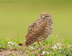Burrowing Owl (www.momentsinature.com) Tags: nature florida wildlife josh owls avian browardcounty burrowingowls joshuaclark momentsinnature