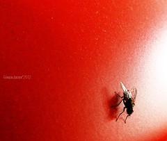 fly (gnsebldchen) Tags: red insect fly nikon coolpix p 500 nikoncoolpixp500 badmanproduction