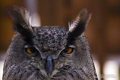 European Eagle Owl (DMeadows) Tags: bird birds wings european eagle display wildlife beak feathers owl avian birdsofprey aberfoyle europeaneagleowl youlookingatme worldofwings tamronaf55200mmf456diiild davidmeadows dmeadows davidameadows dameadows yahoo:yourpictures=yourbestphotoof2012