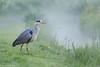 Grey Heron / Reiger (Ardea cinerea) (Levina de Ruijter) Tags: amsterdam birds animals canon nederland thenetherlands vogels canon5d predawn dieren reiger greyheron flevopark kenko14xtc canonef300mmf4lisusm