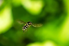 (Shaun_Dovey) Tags: wings flight may hoverfly 2012 thickheadedfly sigma180mmf35exdgmacro nikond7000