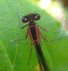 """Damselfly(3)(1)(1)(1) • <a style=""""font-size:0.8em;"""" href=""""http://www.flickr.com/photos/57024565@N00/7288343696/"""" target=""""_blank"""">View on Flickr</a>"""