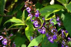 Herb Sage (John A King) Tags: plant flower sage herb salviaofficinalis