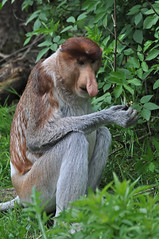 Proboscis Monkey (Truus & Zoo) Tags: netherlands animals zoo nederland endangered apenheul apeldoorn dierentuin proboscismonkey nasalislarvatus neusaap bekantan monyetbelanda longnosedmonkey