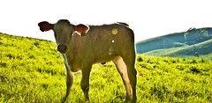 the cow (Martin Plsson) Tags: summer sun green nature grass animal cow nikon bright sunny hills calf animalplanet 18105 d90