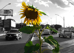 Against the Odds (osvaldoeaf) Tags: street brazil white black flower colour cars brasil scene sunflower processing goinia selective gois wonderfulworldofflowers