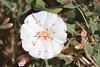 Invasió butano. (.carleS) Tags: flowers flores canon eos flors 60d acaros caeduiker