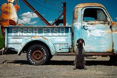 The Fishmonger (MilkaWay) Tags: truck advertising painted southcarolina birddog tessa sit oysters crabs 3yearsold gsp stay towtruck germanshorthairedpointer pawleysisland freshfish oceanboulevard us17 georgetowncounty thelittledoglaughed