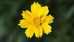 Glowing Yellow Flower (Robby Ryke) Tags: lightpainting flower yellow canon glow michigan special fractal pandora glowingflower