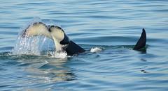 Tail Lob (Marcie Callewaert) Tags: ocean beautiful marine britishcolumbia victoria vancouverisland pacificnorthwest whale whales orca humpback killerwhale orcas yyj princeofwhales motherocean
