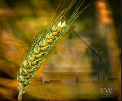 GRAIN (winn.timothy59) Tags: barn rural landscape farm fields mygearandme blinkagain bestofblinkwinners blinksuperstars