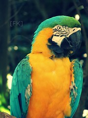 Hyacinth Macaw. (FadedKate) Tags: africa blue green bird eye look yellow zoo rainforest florida native african fl macaw fk hyacinth brevard hyacinthmacaw fadedkate