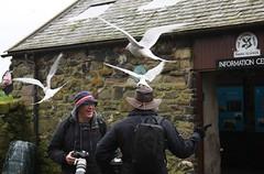 2012 PUFFIN RUN (Tyne Decca) Tags: uk sea islands gull north run national trust cannon puffin shag farne tern razor 2012 nesting longstone seahouses guillimot cormerant 40d