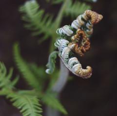 Glen Etive Frond (david.siglin) Tags: new fern macro green nature beauty highlands frond depthoffield glencoe hdr glenetive shallowdof