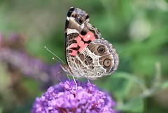 Painted Lady (DrPhotoMoto) Tags: butterfly northcarolina richmondcounty vanessavirginiensis americanpaintedlady