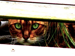 I Spy.... (Lisa Zins) Tags: cats animals cat outdoors eyes feline tn outdoor kitty greeneyes felines bengal mtjuliet oldhickorylake flickrandroidapp:filter=none lisazins