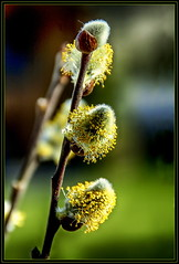 willow catkin in the Sun (scorpion (13)) Tags: sun flower nature yard season spring blossom pussy front willow frame catkin photoart