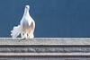 Resting Peace (The Pumpkin Theory) Tags: blue birds animals nikon peace pigeon dove wildlife tamron whitebird telezoom whitepigeon tamron70300 whitedove nikond5300
