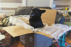 Deano in a Box 2 (AnthonyTulliani) Tags: dog cute dogs fun funny open box schipperke fujifilm x100 nowayout