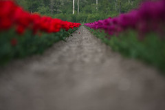 hanging out (beta karel) Tags: red flower green spring purple tulips tulip agriculture polder almere tulpen 2014 tulp betakarel