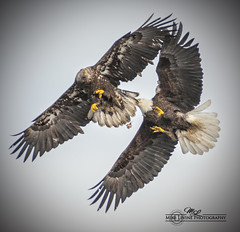 Eagles_1423-132 (mikeyasp) Tags: nature alaska inflight action baldeagle young fighting juvenile eagles confrontation