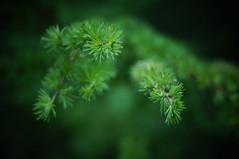 Spring in the forest (Jos Mecklenfeld) Tags: nature netherlands forest spring md minolta groningen larch bos lente frühling terapel larix nex 3n rokkor westerwolde lariks manuallens primăvară lärchen minoltamd50mmf2 minoltamdrokkor sonynex minoltamdlens nex3n sonynex3n