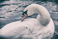 lake katherine. november 2014 (timp37) Tags: november lake illinois swan katherine heights palos 2014