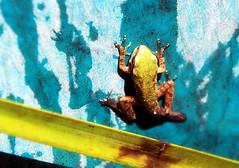 More frog than tadpole (TJ Gehling) Tags: bucket pond amphibian frog elcerrito treefrog chorusfrog pseudacris westernchorusfrog pseudacrisregilla canyontrailpark