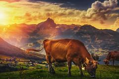 Evening Bells (Chrisnaton) Tags: sunset mountains nature switzerland cow sundown outdoor eveningsky alp cowbell amden eveningmood cowdown