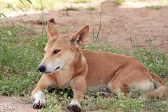 Dingo Dozes (aussiegypsy_tropical FNQld) Tags: family wild dog grass animal rural fur mammal ginger waiting outdoor nt wildlife country watching australian australia icon land outback hunter aussie predator carnivorous terrestrial isolated dingo largest intelligent northernterritory devilsmarbles widespread tennantcreek placental wolfdog gregarious wauchope canidae opportunistic stuarthighway canislupusdingo touristdestination dryclimate karlukarlu conservationreserve acutehearing lorraineharris excellenteyesight mostlynocturnal aboriginalsignificance