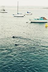ocean california usa water marina coast harbor monterey pacific seal seals