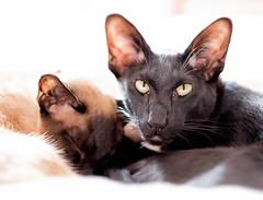 Hugo and Bella (DavidS_UK) Tags: cats cat blackcat eyes feline siamesecat siamese ears oriental orient moggie meezer orientalcat