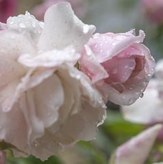 Sad Roses (Xynalia) Tags: california ca pink roses white rain droplets focus sad emotion crying sanjose petal downcast