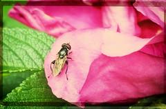 160603-1 (sz227) Tags: rose sony freitag fliege hundsrose rosengewächs freitagsblume heckenrosen zackl blumentag sz227 sonyilca77m2