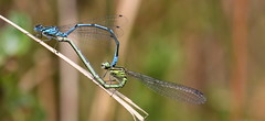 """Coenagrion puella"" - azuurjuffer (bugman11) Tags: macro nature animal animals fauna canon bug insect dragonflies dragonfly bokeh nederland thenetherlands insects bugs damselfly damselflies coenagrionpuella thegalaxy azuurjuffer platinumheartaward 100mm28lmacro"