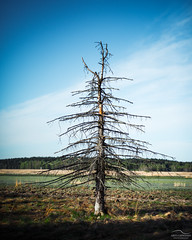 ! (Arto Leppnen Photography) Tags: summer sky tree suomi finland 50mm fineart dry puu porvoo kes luonto ranta kuiva nikond800 artoleppnenphotography