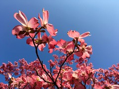 Dogwood Blossoms ((Jessica)) Tags: flowers boston spring blossom massachusetts newengland somerville bloom dogwood springtime medford pw