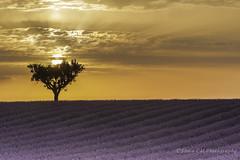 One (Snia CM) Tags: travel flowers sunset sun france tree canon landscape lavender 1740 flors lavanda canon1740 valensole canon6d