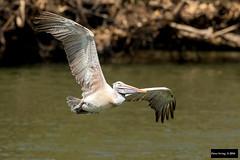 Spot-billed Pelican (Pelecanus philippensis) (Dave 2x) Tags: grey inflight gray pelican pelecanus spotbilledpelican pelecanusphilippensis nearthreatened greypelican spotbilled philippensis graypelican