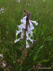 Lyre-leaf sage Salvia lyrata (Super Nature Lover) Tags: sage salvia mbp lyrata lyreleaf